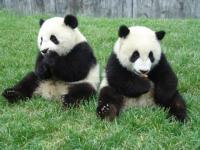 Enciklopedia na Jivotnite - Panda / енциклопедия на животните - панда