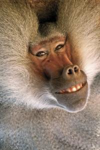 Enciklopedia na Jivotnite - Pavian / енциклопедия на животните - павиян